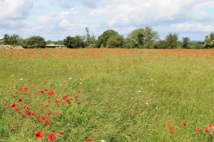Field Poppies in old orchard
