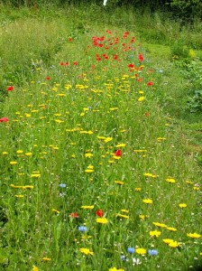 cornfield annuals in first year