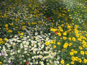 cornfield annuals in flower