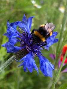 Bee on Cornflower