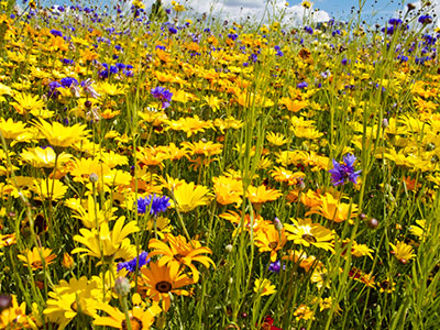 Urban Pollinator Seed Mixes