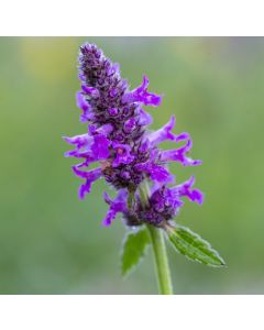 Wildflower Plants For Clay Soils