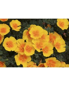 Californian Poppy ( Single Flowered Mix) Range Of Colours