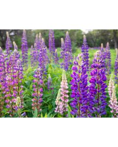 Russell Lupin Meadow 100% Seed Mix