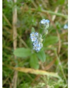 Field Forget Me Not  Native Seed Seed packet 1 Gram