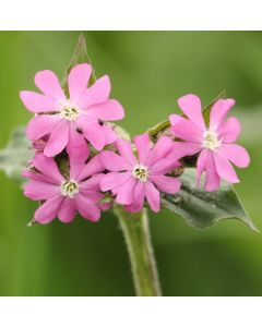 Red Campion Seed Packet 1 Gram