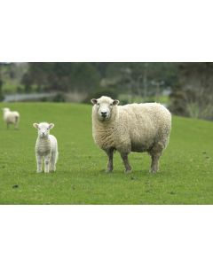 Grass Seed For Sheep Grazing Acre