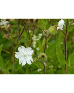 White Campion Silene Alba Seed Packet 1 Gram