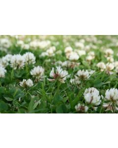 Clover Seed Mixture For Reclamation Of Wasteland  20kg