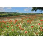 Native British Wildflower Meadow Seed Mix