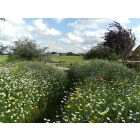 100% Native Traditional British Wild Flower Seed Mix 500 Grams
