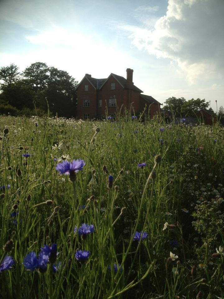 Daisies and cornflower in a wild flower meadow