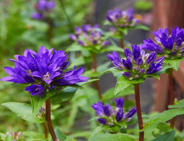 How & Where to grow Clustered Bellflower (Campanula Glomerata)