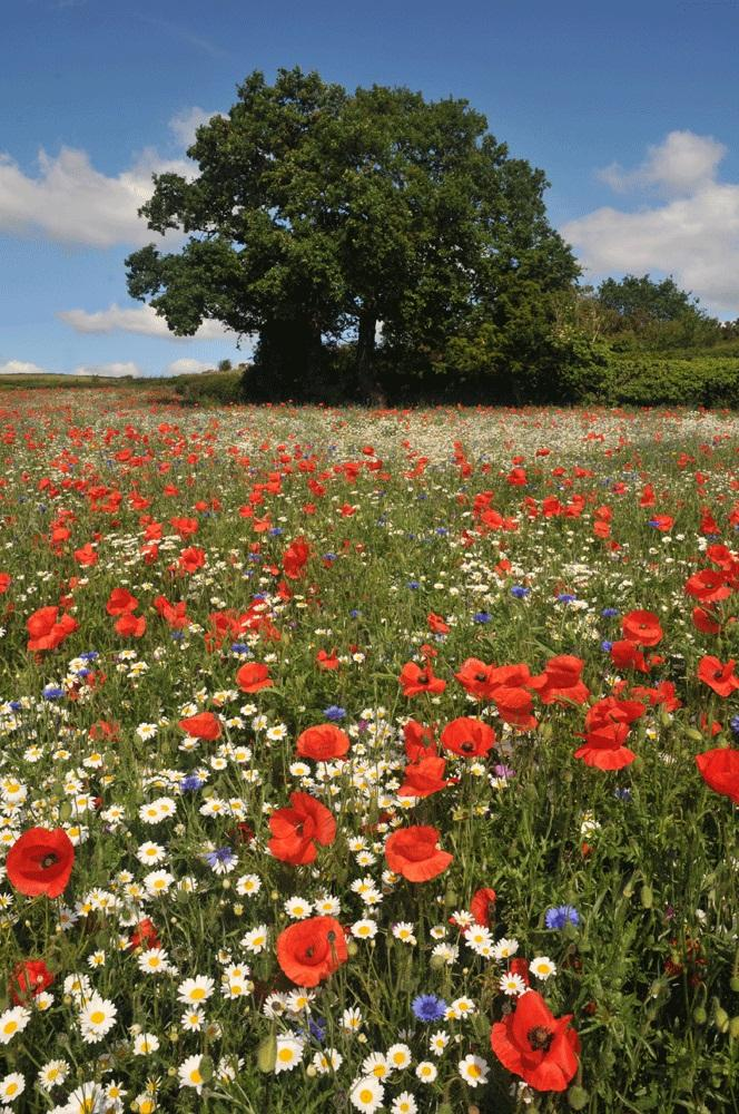 What are Meadow Flowers