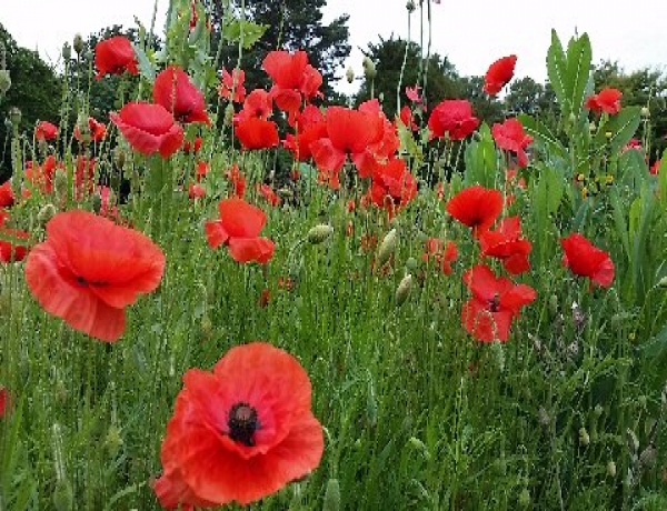 Field Poppy Papaver Rhoeas In Flower 2014