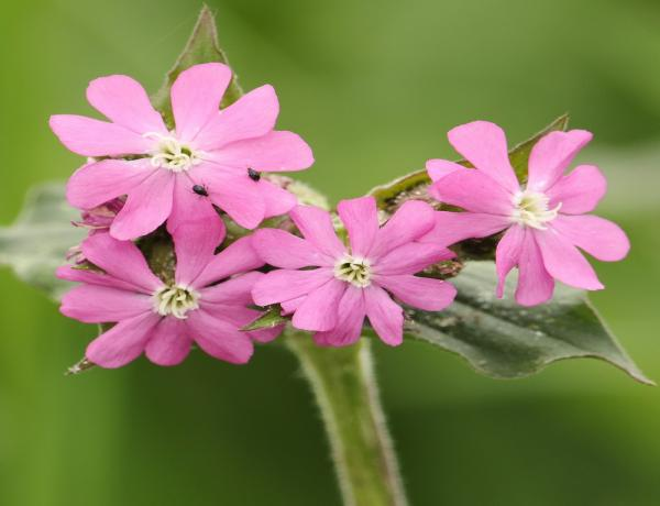 How and Where to grow Red Campion Silene Dioica