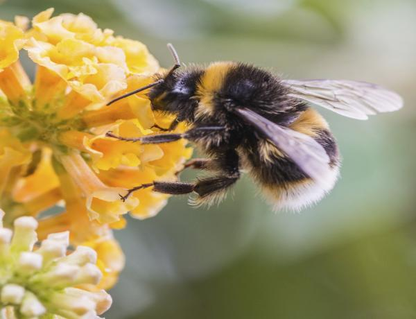 Why Bumblebees Love Wild Flowers