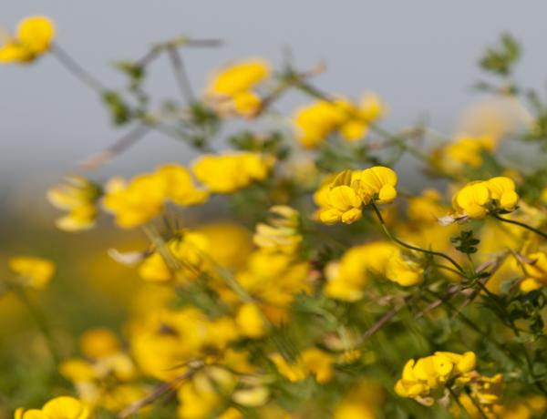 How and Where to grow Birdsfoot Trefoil