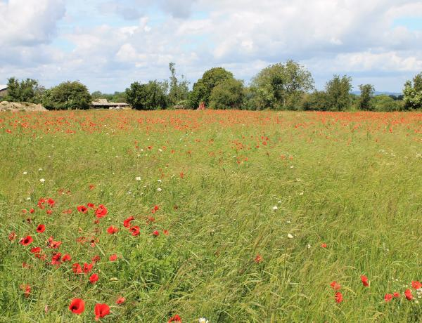 Large wild flower meadow mass of Field poppies