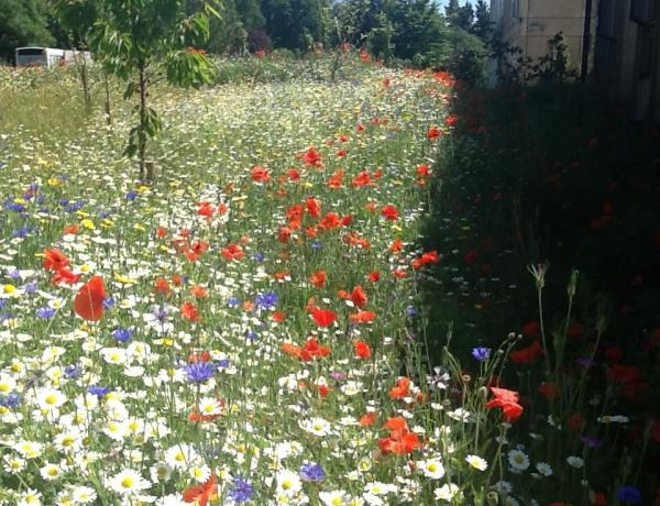 Wild Flower Meadow at School in Bath