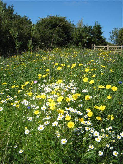 Wild flower meadow by edge of trees