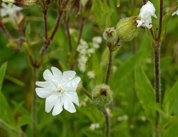 Where & How to grow White Campion Silene Alba