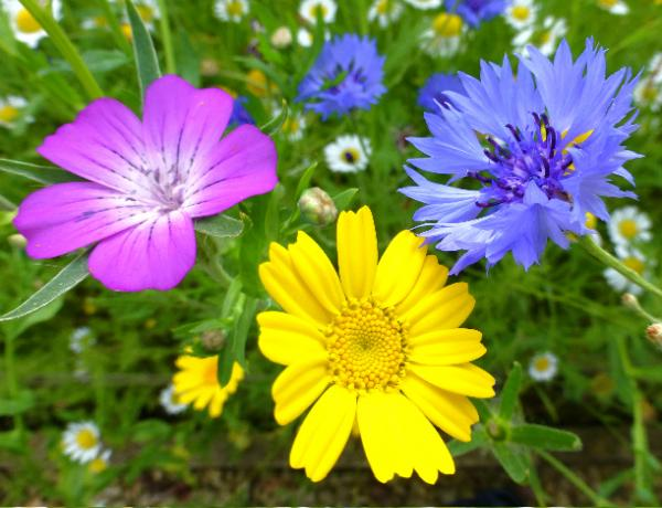 Colourful Annual Meadow Flowers