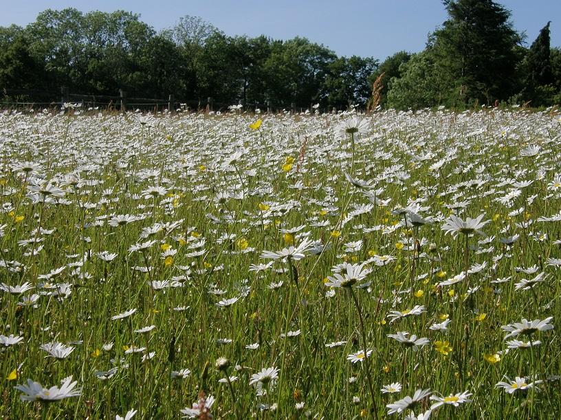 Only Ox Eye Daisy growing