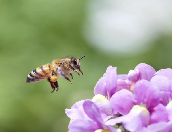 Urban Pollinator Seed Mixes Management Guide