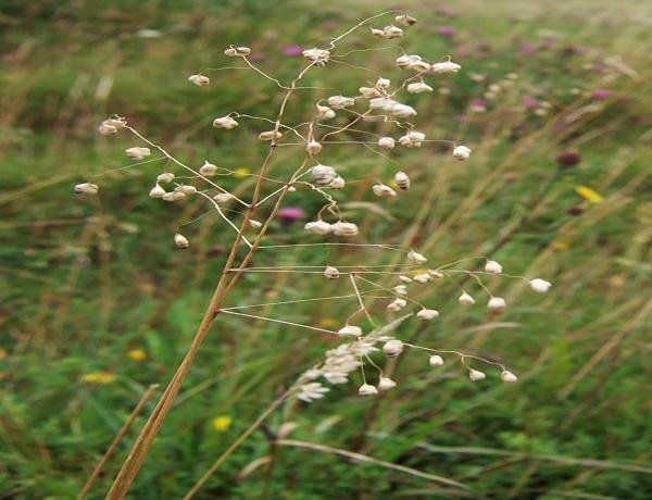 Meadow Grass Seed Where and How to Grow it