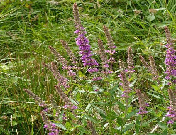 How and Where to Grow Purple Loosestrife