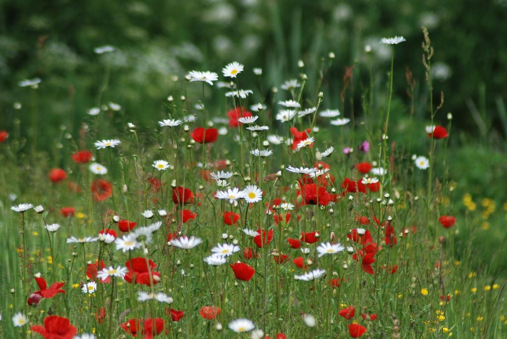 Field Poppies , Daisies and Marigolds