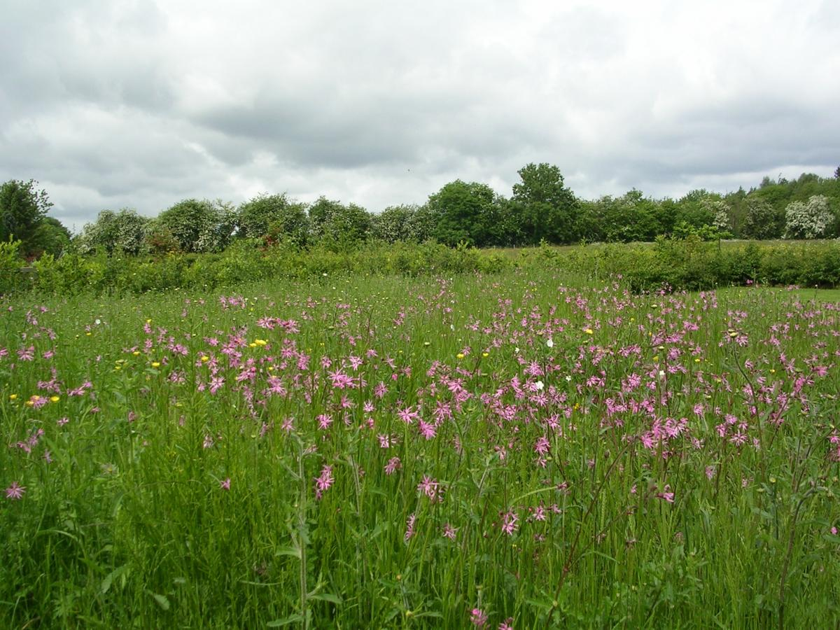 Red campion and ox eye daisy