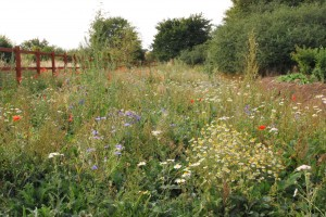 wild wild flower meadow