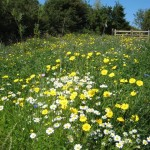 sunny wild flower meadow