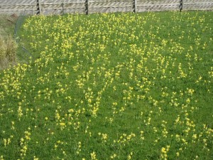 Cowslips May 2015