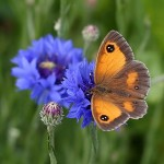 Cornflower and butterfly
