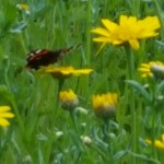 annuals and butterflies