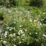 Scottish wild flower meadow